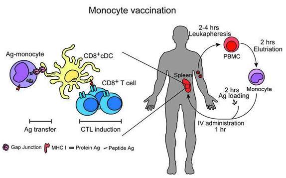 杜克大学的研究人员发现更简单有效的癌症疫苗