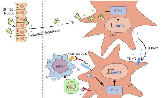 研究表明:肠道细菌可以进入肿瘤并有助于癌症免疫治疗