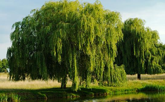 在柳树中再次发掘可杀死癌细胞的化学物质