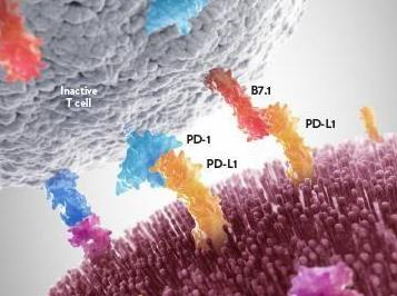 PD1的神奇副作用--白发变黑发