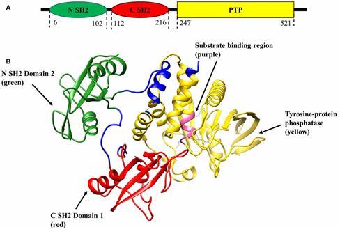 最新研究表明,SHP2抑制剂可克服肺癌的多种耐药机制